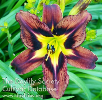 Daylily Brown Delicious