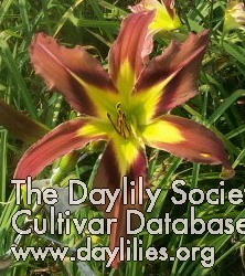 Daylily Brown Exotica
