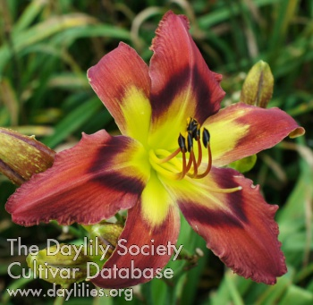 Daylily Burnin' Down the Town