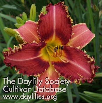 Daylily Cactus Blossom