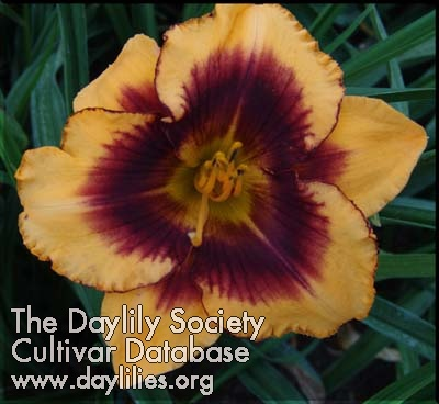 Daylily Chain Energy