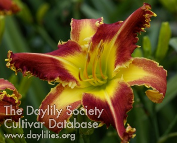Daylily Cougar
