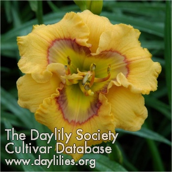 Daylily Curious Cutie