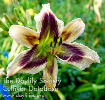 Daylily Chevron Summer