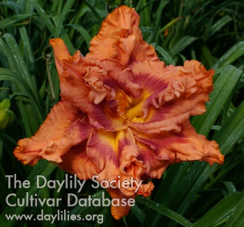 Daylily Double Orange Angel Wings