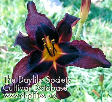 Daylily Dark Energy