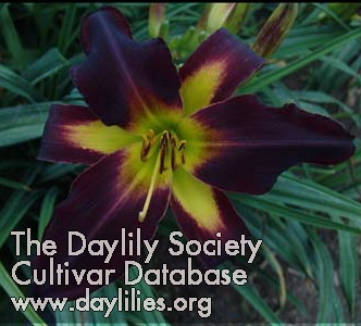 Daylily Darkness Approaches