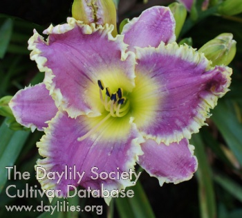 Daylily Deep Sea Shark