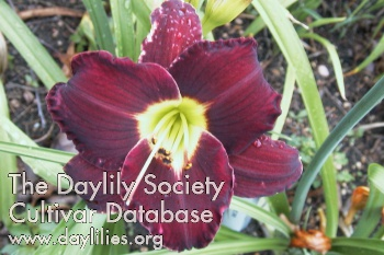 Daylily Doc Holliday