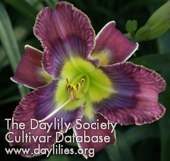 Daylily Doctor Who