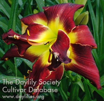 Daylily Double Black Whirlwind