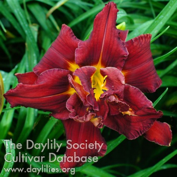Daylily Double Red Firebird