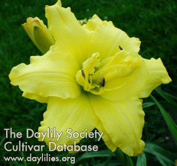 Daylily Double My Sunshine