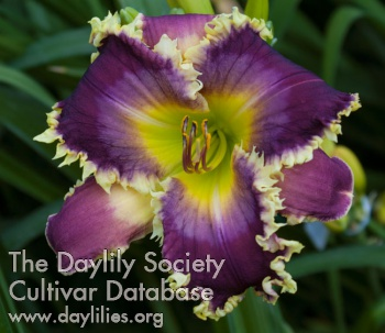 Daylily Fangs to You