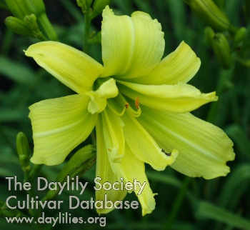 Daylily Flying Fish