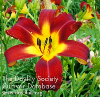 Daylily Head Hunter
