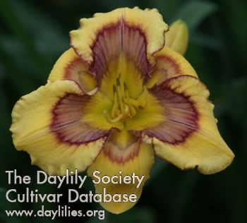 Daylily Heavenly Shockwave