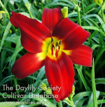 Daylily Heavenly Red Soldier