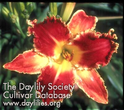 Daylily Heavenly Bombshell