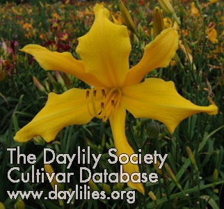 Daylily Heavenly Dancing Fairies