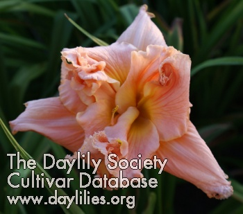 Daylily Heavenly Double Your Pleasure