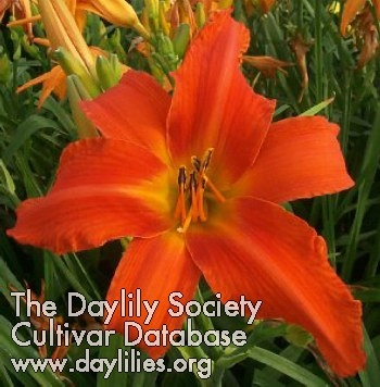 Daylily Heavenly Dragon Fire