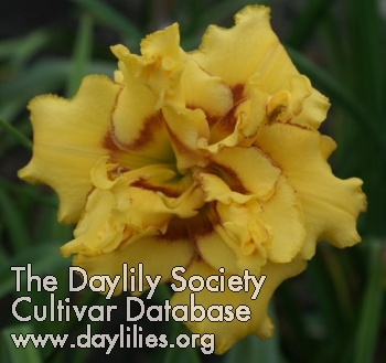 Daylily Heavenly Fission