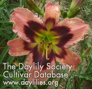 Daylily Heavenly Ginger Snap