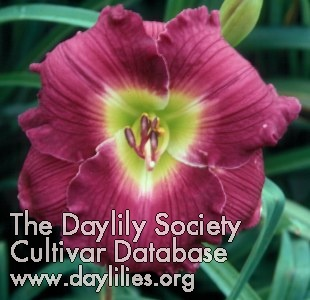 Daylily Heavenly Grape Surprise