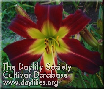 Daylily Heavenly Lasting Impressions
