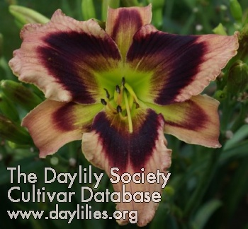 Daylily Heavenly Masquerade