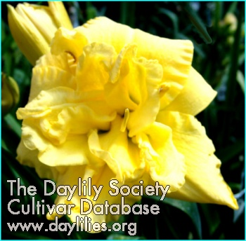 Daylily Heavenly Mellow Yellow
