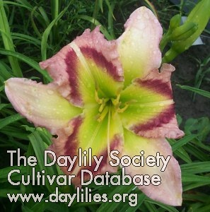 Daylily Heavenly Pink Butterfly