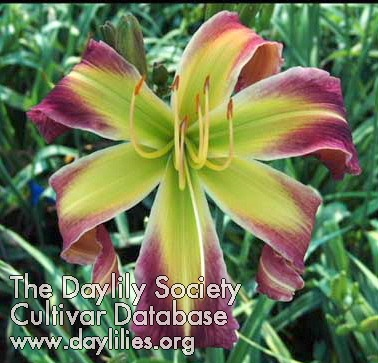 Daylily Heavenly Twisted