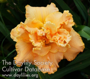 Daylily Heavenly Double Trouble