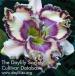 Daylily Journey of Magic