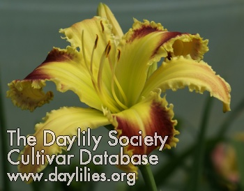 Daylily King Cobra
