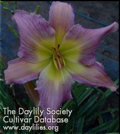 Daylily Lady of Faith