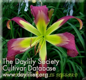 Daylily Lavender Curls
