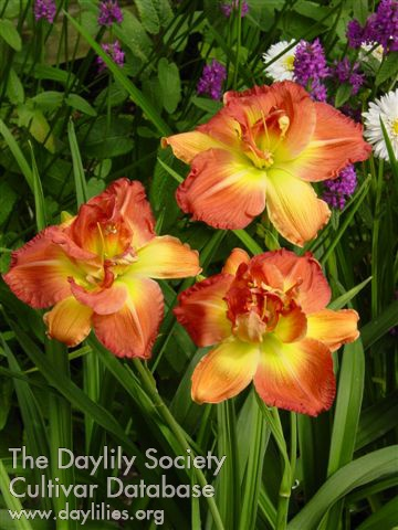 Daylily Longfields Twins