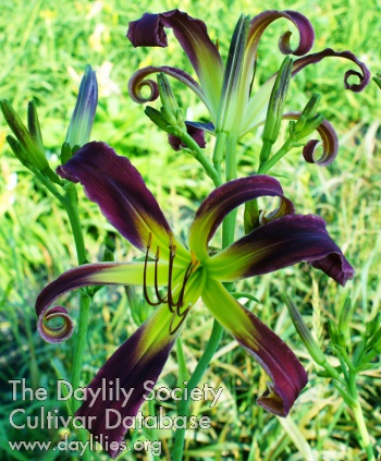 Daylily Look Up Here
