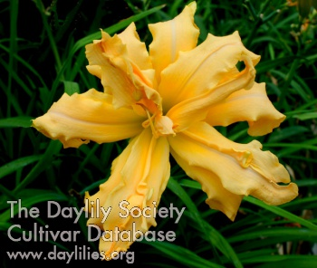 Daylily Magical Explosion