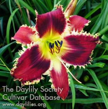 Daylily Man-eater