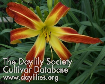 Daylily Mighty Goliath
