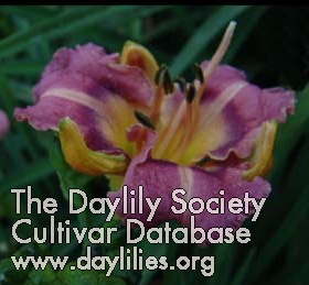 Daylily Mutant Warrior