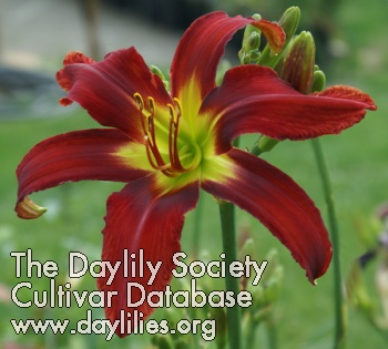 Daylily Omega Red