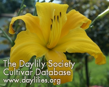 Daylily One Above You