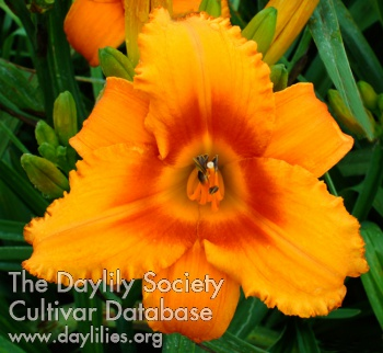 Daylily Orange Dazzler