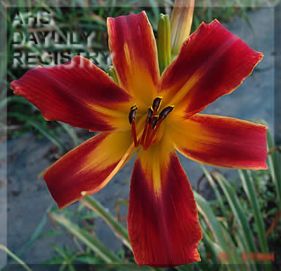 Daylily Orange Knight