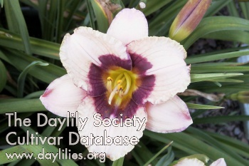 Daylily Orchid Candy